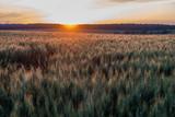 Weizenfeld bei Sonnenuntergang - 208243760
