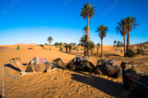 Canvas Kameel Four camels lying on the sand beside palm trees in Sahara desert