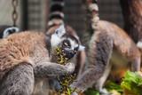 Lemur in park - 208252714
