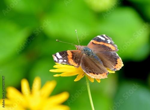 Aluminium Vlinder Papillon Vulcain sur une fleur d'Anthémis