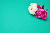 Two peony flowers on green background. Copy space, top view.