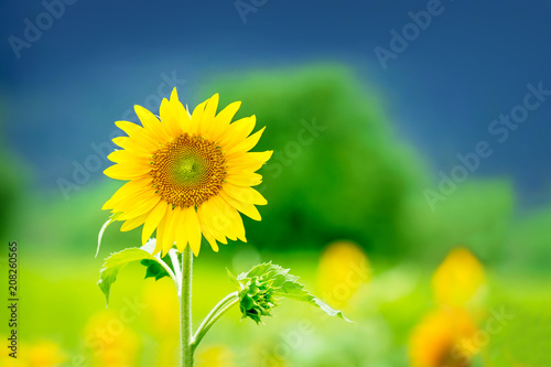 Sunflower in the field by the mounten, Stand out concept