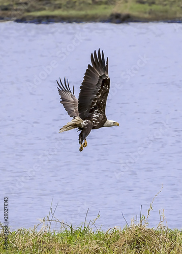 Plexiglas Eagle Bald Eagle in Flight