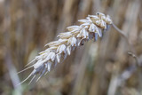 ear of wheat close up - 208278104