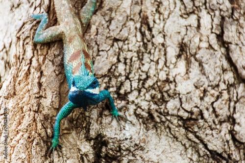 Fotobehang Kameleon blue chameleon in tropical area on the tree