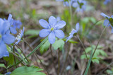 Blue anemone in the forest close up - 208290147