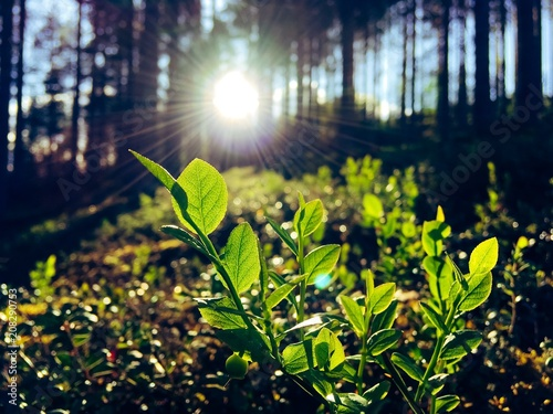 Fotobehang Natuur Blueberry leaves in sunlight. photo from Sotkamo, Finland.