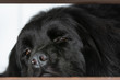 a big black Newfoundland rests, staring impassively at the window