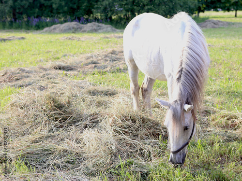 White horse is grazing in a meadow