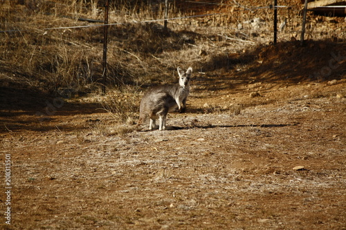 Aluminium Kangoeroe Wild Kangaroo/Wallaby resting in the hot dry sun during drought season, surrounded with dry yellow grass, red dirt and trees in Tamworth, New South Wales, Rural Australia