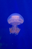 Barrel jellyfish, dustbin-lid jellyfish, frilly-mouthed jellyfish (Rhizostoma pulmo). - 208317776