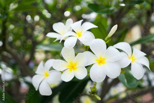 Fotobehang Plumeria Plumeria is blooming in the garden