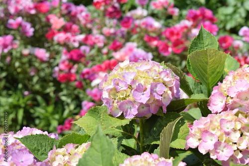 Fotobehang Hydrangea Seasonal blooming hydrangea