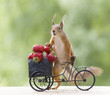 Leinwanddruck Bild - red squirrel on a cycle and an Strawberry