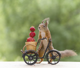 red squirrel with a cycle and a Strawberry - 208335395