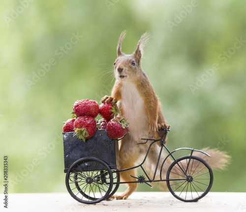 Leinwanddruck Bild red squirrel on a cycle and an Strawberry