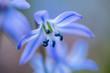 bluebell, scilla siberica, flower, spring