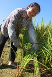 happy asian female farmer harvest  golden rice smile in the rice paddy - 208339552