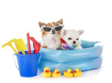 chihuahuas in holidays - 208341148