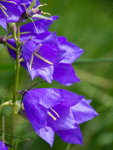Campanula persicifolia flower plants grow in fields and meadows. Flower bells of purple color. - 208344355
