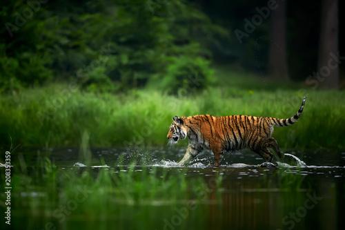 Fototapeta Amur tige in the river. Action wildlife scene with danger animal. Siberian tiger, Panthera tigris altaica