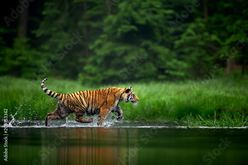 Aluminium Tijger Amur tige in the river. Action wildlife scene with danger animal. Siberian tiger, Panthera tigris altaica