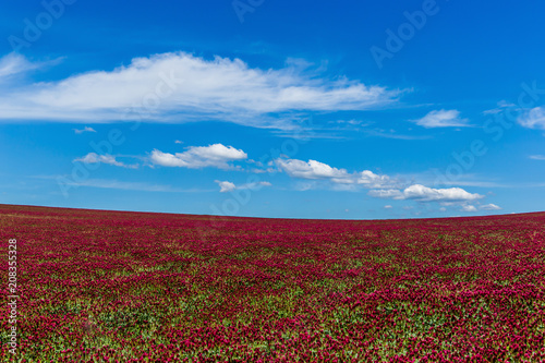 Aluminium Bordeaux Red clover field and blue sky in summer day.