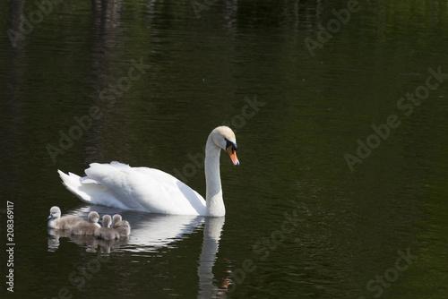 Aluminium Zwaan Swan with babies. Kids under the shadow of my mother..