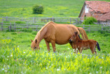 A horse looks at a foal in a meadow 3 - 208376959