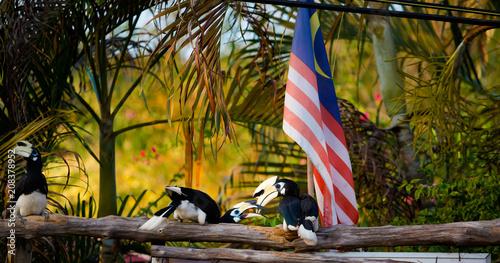 Hornbill feeding on Pangkor island