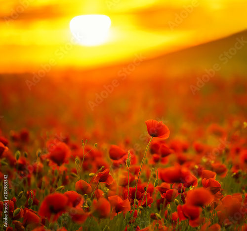 Fotobehang Klaprozen Incredibly beautiful flowering poppies. Red field of flowers at sunset.