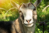 The goat smiles in the sunlight. Cattle and farm. - 208384572