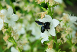 Big black beetle sits on a white flower. Beginning of the summer. Bug.