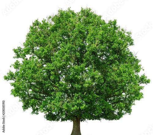 Oak tree isolated on white background - 208385910