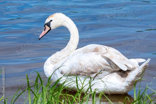 Aluminium Zwaan Young swan on blue lake water