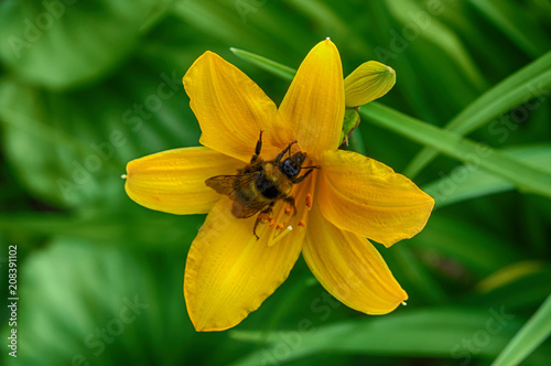 Bumblebee collects nectar on a flower daylily. Close-up view. On a Sunny summer day.