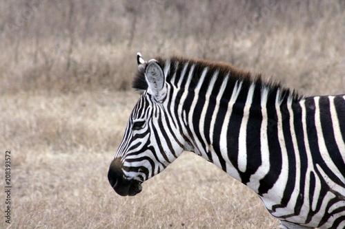 Naklejka Zebra's Head