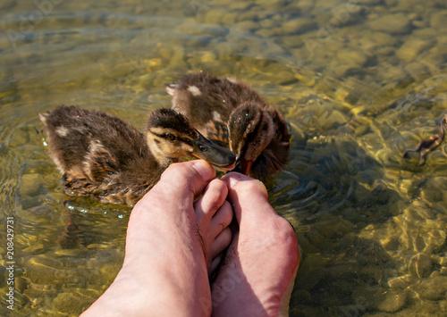 Fotobehang Manicure Pediküre durch Entenbabys. Enten knabbern an meinen Zehen.