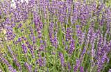 Flowering lavender in the meadow - 208432178
