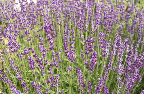 Fotobehang Lavendel Flowering lavender in the meadow