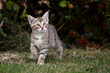 Leinwanddruck Bild - Small gray European Shorthair cat photographed while playing