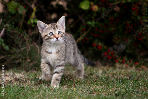 Leinwanddruck Bild Small gray European Shorthair cat photographed while playing