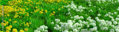 панорама - одуванчики желтые и белые - 208439313