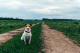 Jack russel terrier on field road Happy Dog with serious gaze - 208445129