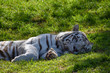 A large white male bengal tiger relaxing
