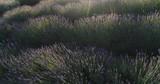 Low flight over summer violet lavender field - 208453950