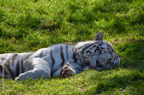 Fotobehang Tijger A large white male bengal tiger relaxing