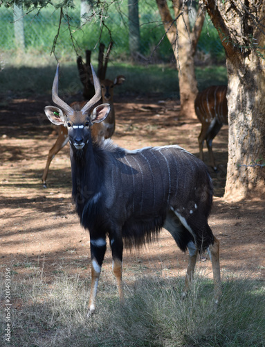 A beautiful dark grey Nyala bull with perfectly twisted horns