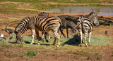 A small herd of African black and white zebras grazing peacefully