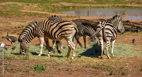 A small herd of African black and white zebras grazing peacefully - 208454518